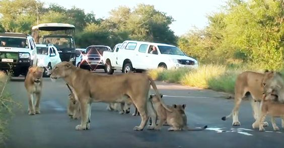 A lion pride caused some major traffic on the road — but they couldn't care less because, well, this is their kingdom