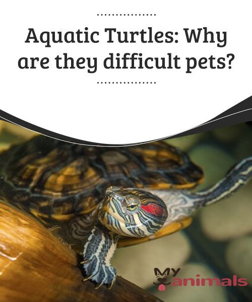 Aquatic Turtles Why Are They Difficult Pets Having Aquatic Turtles As Pets Is Complicated If You Re Thinking About Getting Aquatic Turtles Pet Turtle Pets