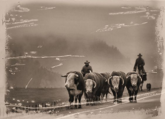 Movin' the herd bulls