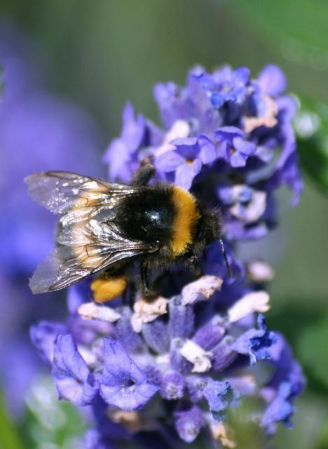 Google Image Result for http://www.flowerpicturegallery.com/d/9280-2/purple%2Blavender%2Bflower%2Bwith%2Bbig%2Bbee.jpg