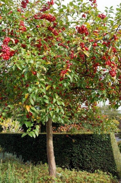 malus 39 red sentinel 39 tuin pinterest trees autumn. Black Bedroom Furniture Sets. Home Design Ideas