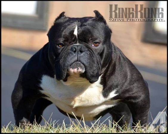 Extreme American Bully Smashed Muzzle American Puppy