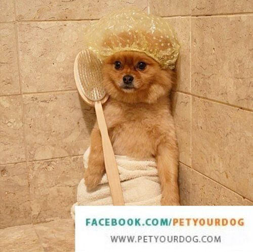 Blaine is scared of having his bath.. _____________________________________  Like us for the cutest daily fluffy pictures! http://www.facebook.com/petyourdog _____________________________________  Find out what dog breed is best suited for you! http://www.petyourdog.com/dog_matching_system