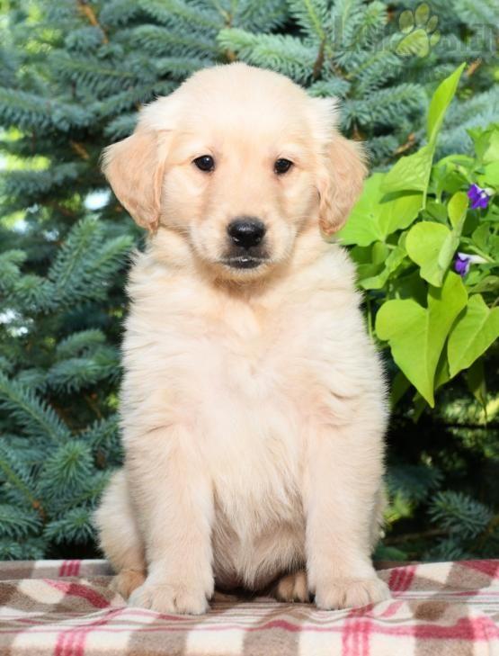 Goldenretriever Golden Retriever Charming Puppiesofpinterest