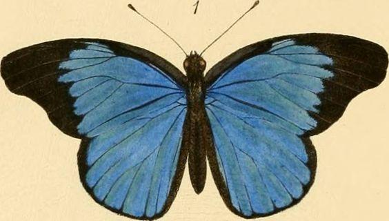 Identifier: rhopaloceraexoti03smit Title: Rhopalocera exotica ; being illustraions of new, rare, and unfigured species of butterflies Year: 1887 (1880s)