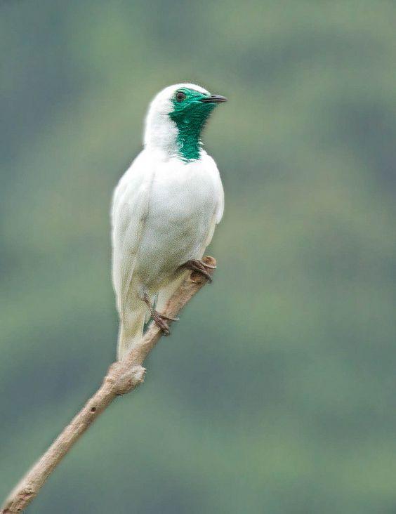 美しい鳥ハゲノドスズドリ