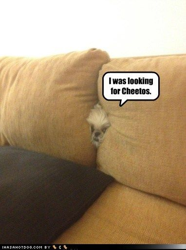 funny dog pictures - I was looking for Cheetos. @Robin White I can see Biebs doing this