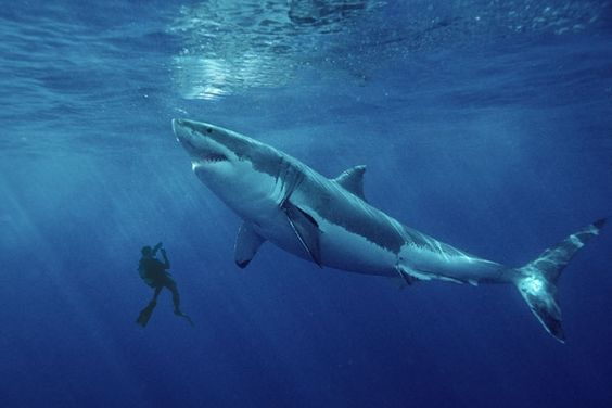 Biggest Great White Shark in History | ... record-breaking ...