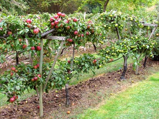 Espalier fruit trees take up little space, give lots of fruit and all within reach. Love it.: