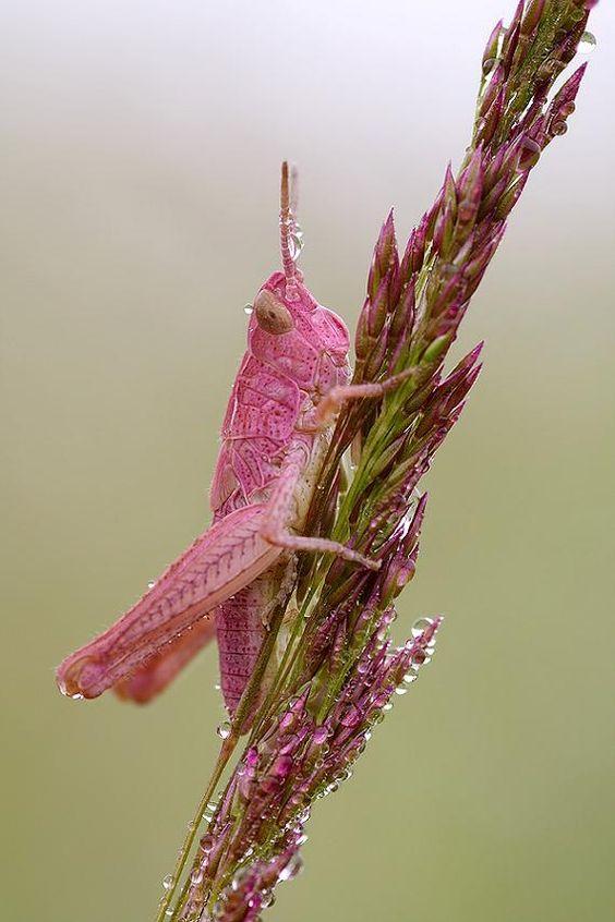 Pink Grasshopper - Daddy! I want one!