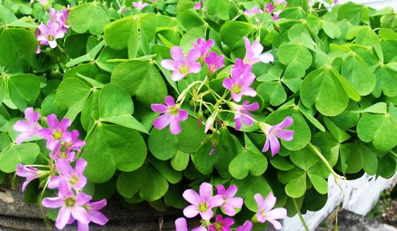 "Wild Edible Plants: Wood Sorrel (Oxalis Acetosella) | Wood Sorrel (Oxalis Acetosella) is an amazing wild edible, that has leaves and flowers that are best eaten raw. Commonly called sour grass, and often confused with ""yellow clover"", Wood Sorrel is a sour treat that will quench your thirst, while you enjoy it as a trail side nibble."