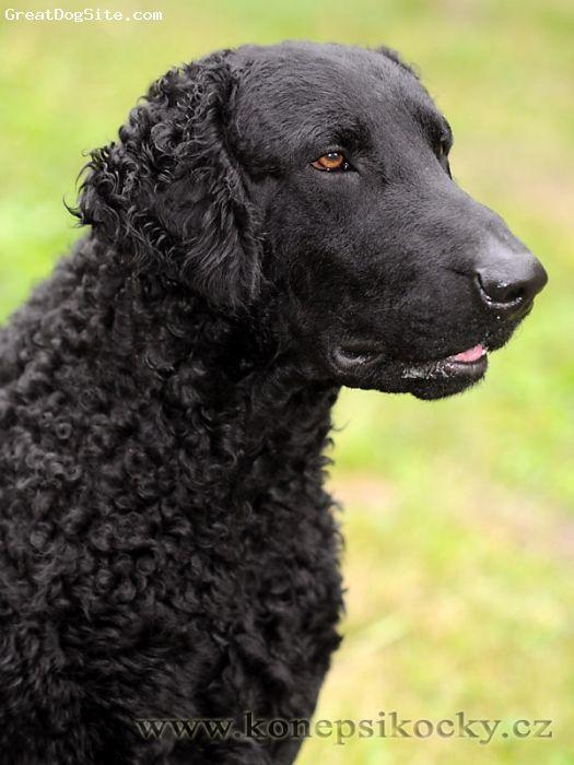 Curly Coated Retriever. www.doggifit.com