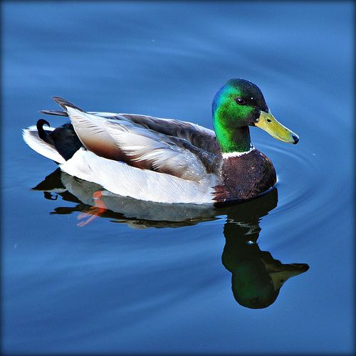 Mallard Ducks Animal Art Portraits, Photographs