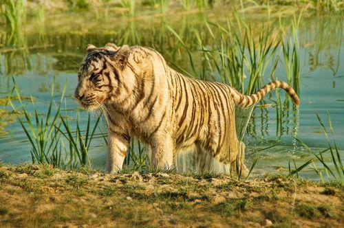 Tigre blanc - Nicolas Bennato