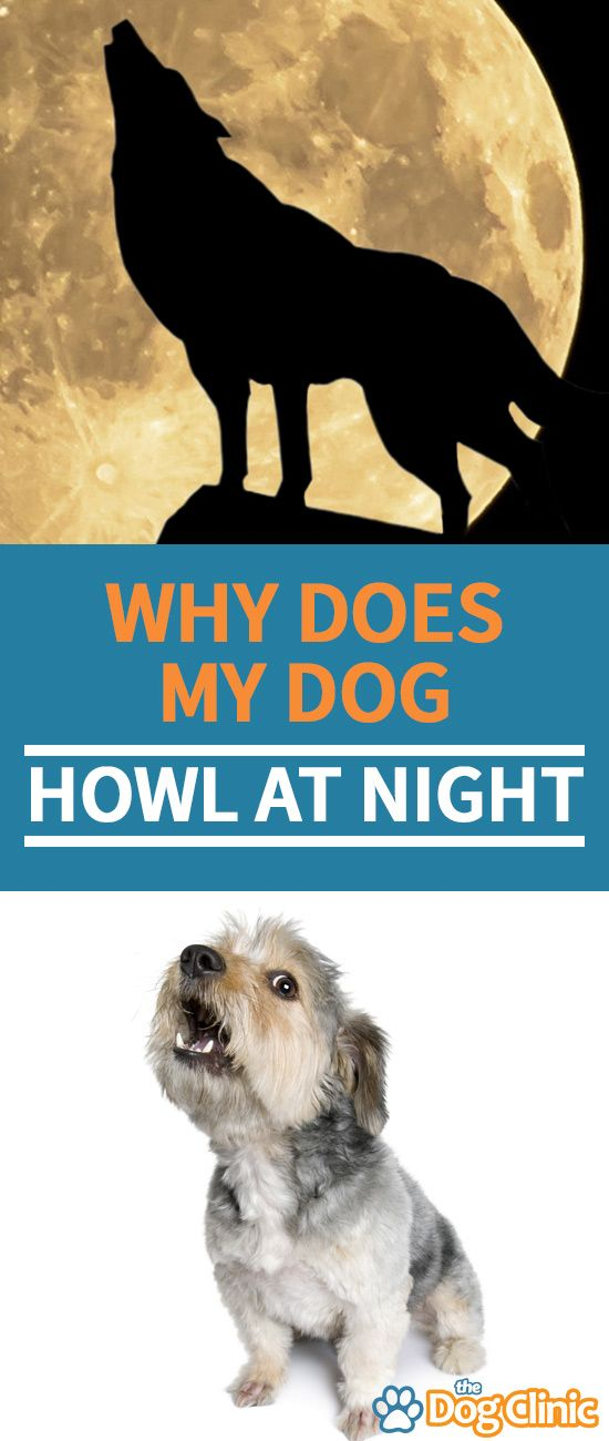 Does Your Dog Howl At Night Here S Why It Might Happen And How