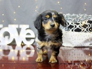 Page Not Found Petland Carriage Place Dapple Dachshund Puppy