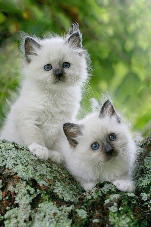 Ninja Cat Ready To Pounce Cute Animals Kittens Cutest Birman Kittens