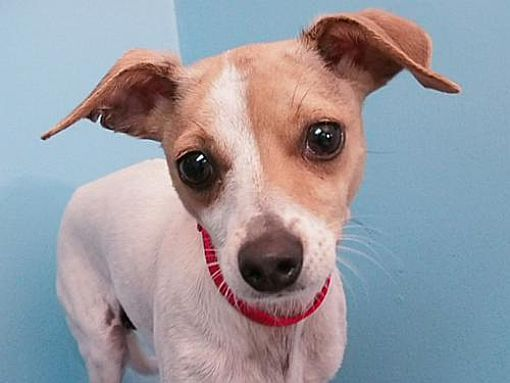 Portland Or Chihuahua Meet Dot A Dog For Adoption Dog Adoption Chihuahua