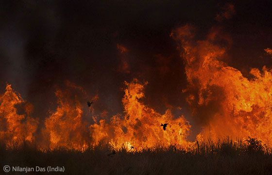 Fire flying - Nilanjan Das - Wildlife Photographer of the Year 2011 : Behaviour: Birds - Highly commended