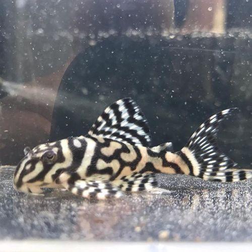 Hypancistrus Sp L333 Pleco 2 5cm Algae Eater Rare Tropical Fish Aquarium Tropical Fish Plecostomus