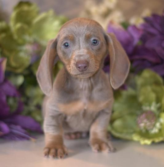 Dachshund Puppies For Sale Miniature Puppy Down Home Dachshunds Dachshund Puppy Miniature Dachshund