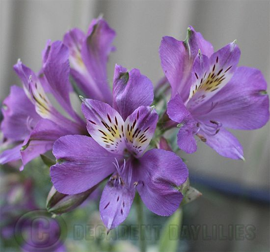 Alstroemeria Purple Purple Flowers Alstroemeria Flower Garden Plans