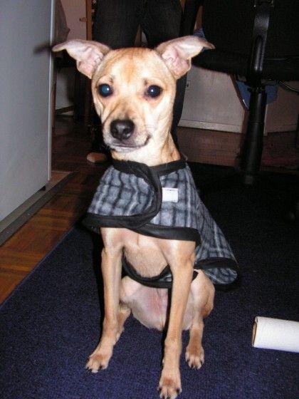 italian greyhound chihuahua - photo #30