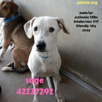 Edinburg Tx Labrador Retriever Meet Sage A Pet For Adoption
