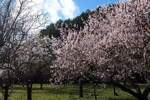 mandelblüte auf mallorca von isa otte via wetter-online.de
