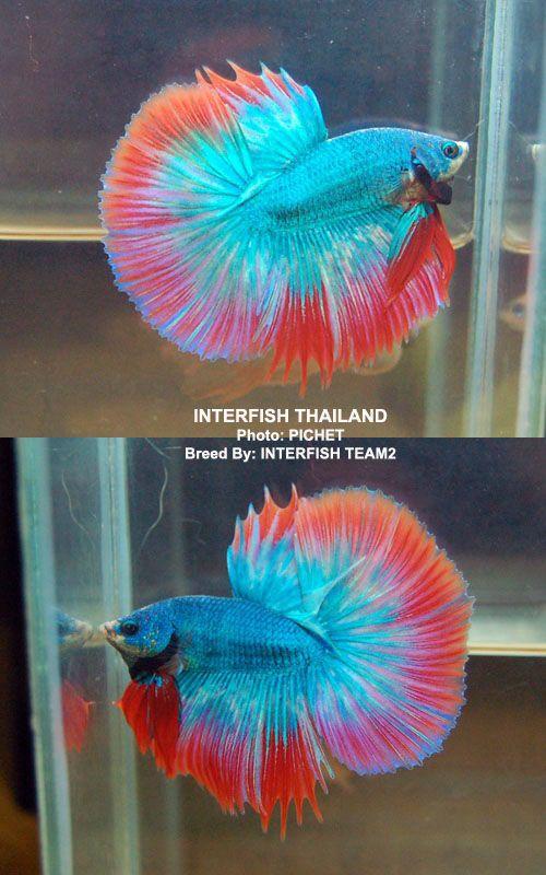 Beautiful betta bettas pinterest beautiful wings for Best water for betta fish