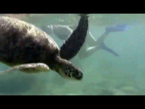 Sea Turtles of Anini Beach, Kauai - YouTube