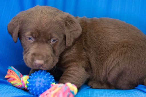 Labrador Retriever Puppy For Sale In Kent Oh Adn 62517 On Puppyfinder Com Gender Male Age 5 Weeks Old Labrador Puppy Labrador Retriever Labrador Dog