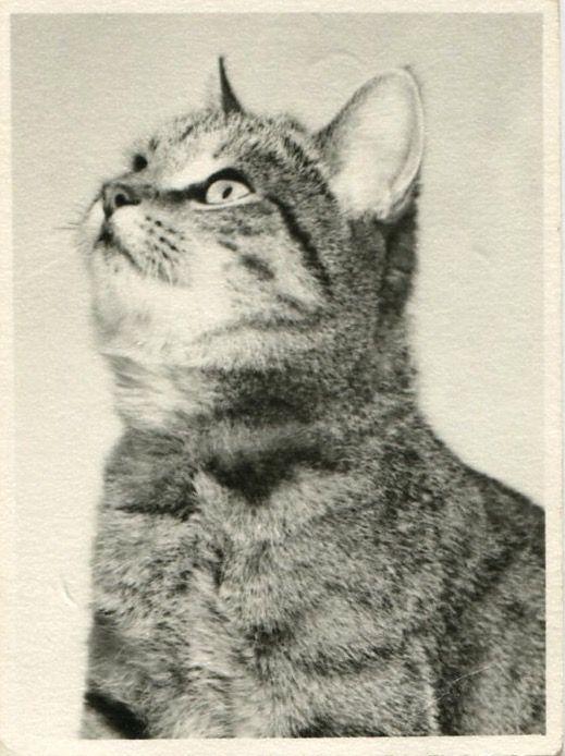 Pin By Jennifer Sparks On Kitty Vintage Cat Tabby Kitten Kittens Vintage