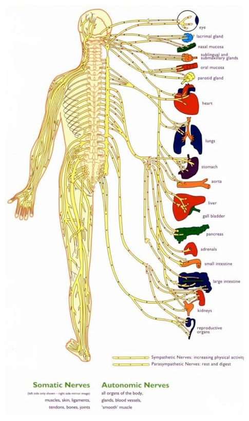 Human Nervous System Chart