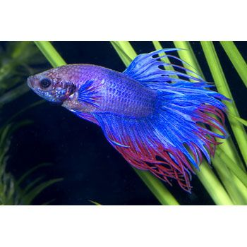 Guys cubicles and pets on pinterest for Betta fish names male blue