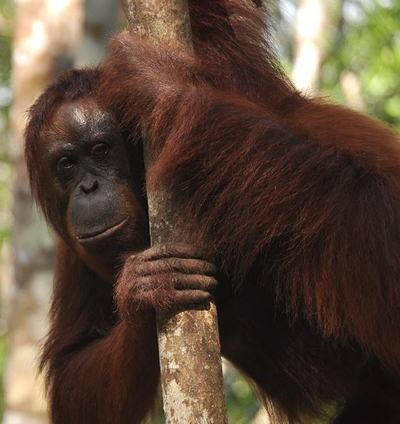 Orangutan, Borneo.    http://www.facebook.com/DigitalPhotographyByRudy  For more photos visit http://digitalphotographybyrudy.com/