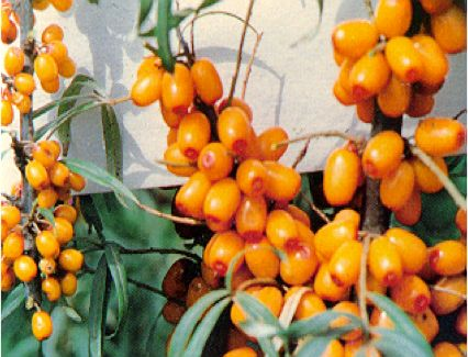Also known as Siberian pineapple, sea berry, sandthorn or swallow thorn, sea buckthorn has been traditionally grown in Europe and Asia.
