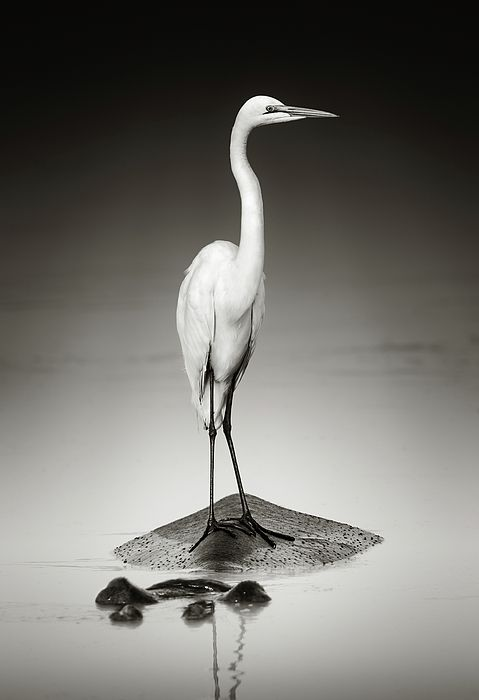 Great White Egret On Hippo Shower Curtain For Sale By Johan