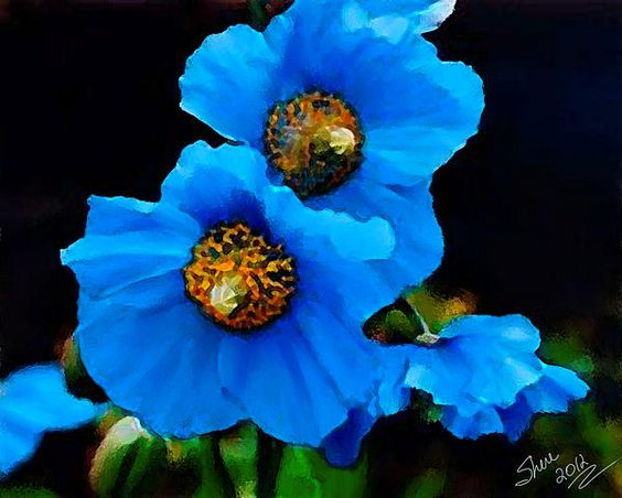 Most people think of poppies as being red but they come in several colors including blue.