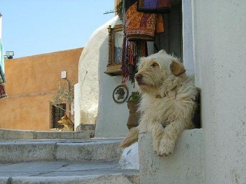 Streets of Santorini  #dog #puppy #pup #dogs_of_instagram #pet #petstagram #pets...
