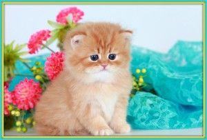 Red Tabby Persian Kitten