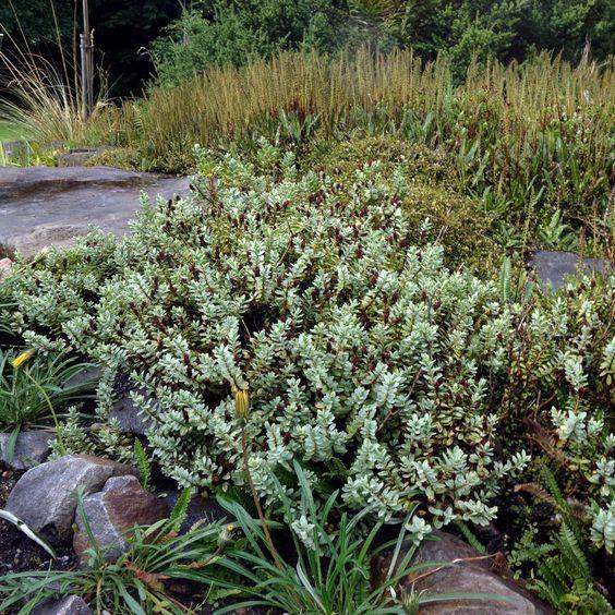 Die Strauchveronika (Hebe pinguifolia) ist ein toller Kombinationspartner für Felsanlagen in wintermilden Regionen.