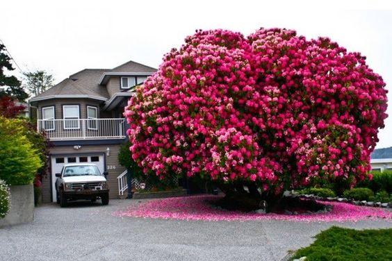 Rododendro – Canadá. Tem mais de 120 anos