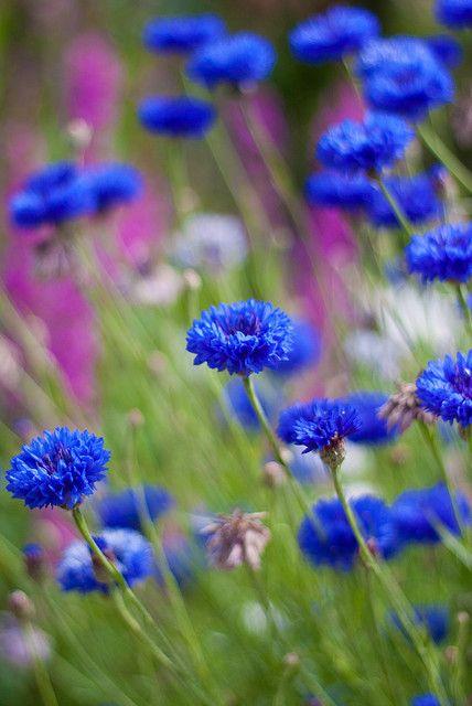 thelittlesea: Cornflowers blowing in the wind by ZedBee | Zoë Power on Flickr.