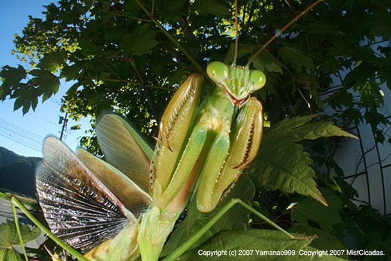 Japanese giant mantis(Tenodera aridifolia)オオカマキリ