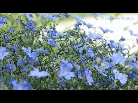Ausdauernder Lein (Linum perenne) ist eine hübsche, federleicht wirkende, 30 bis 60 cm hohe Wildstaude, die alleine schon durch ihre Farbe auffällt. Das Himmelblau der 2,5 cm großen Trichterblüten ist unübersehbar. Lein passt gut in Steingärten, Kies- und Staudenbeete. Sein federleichter Habitus passt allerdings auch gut zu Rosen. Besonders die elegant schwebenden weißen Sorten Diamant und Album sind perfekte Rosenbegleiter.