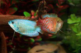 Exotic Freshwater Fish