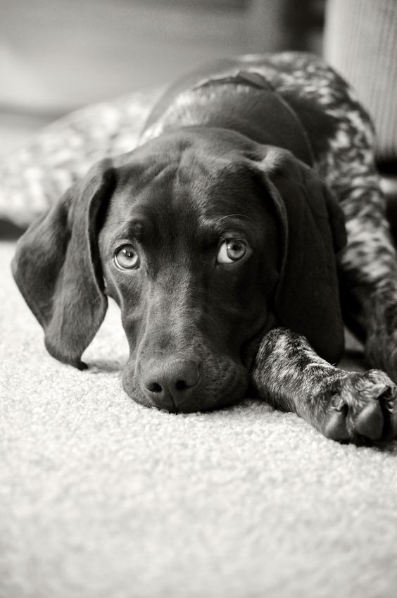 Bella Mae. German Shorthaired Pointer. Best dog anyone could ever have!