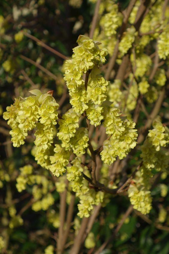 Corylopsis spicata, flowering around Easter