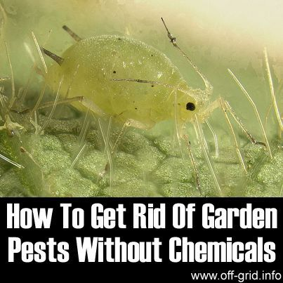 Garden pests how to get rid and how to get on pinterest - How to get rid of bugs in garden ...